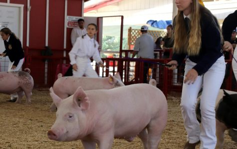 Alexis McCord showing her pig at the Kern County Fair.