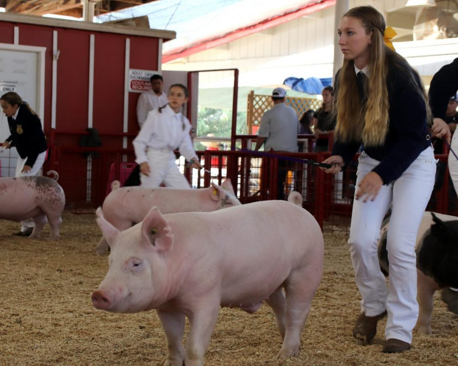 Alexis+McCord+showing+her+pig+at+the+Kern+County+Fair.