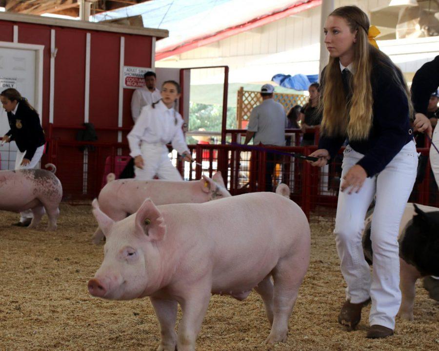 The FFA students showcase their livestock at the Kern County Fair